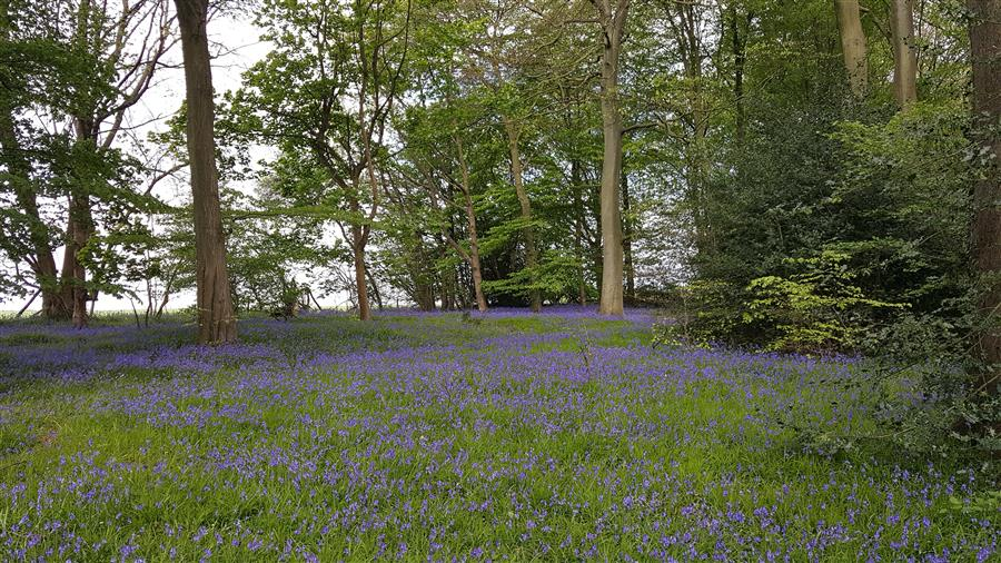 view In praise of the native bluebell